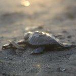Turtle release was memorizing