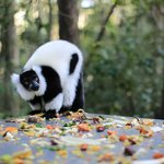 Lemur searching for some scraps on the food table