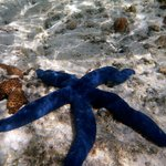 Blue sea star - can be seen on reef walk