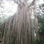 Canopy Fig tree