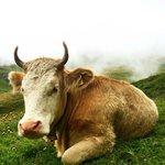 swiss cows meadows
