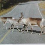 reindeers everywhere ....