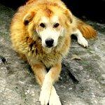 The Host ~Moti , The Bhutia Dog !