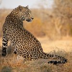Game Drive - Leopard