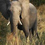 Game Drive - Elephant
