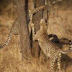Game Drive - Cheetahs