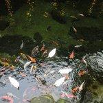 庭池の鯉とアヒル