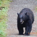 Bear walking down the path to the river.