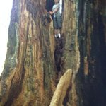 Just an average tree in the Redwoods