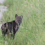 Bobcat at Wildlife Drive  (C) 2014 Bob Hartmann