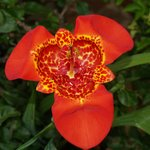 Amazing day lily