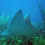 Eagle Ray - Ramon's Dive