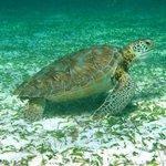 Sea Turtle - Hol Chan Reserve