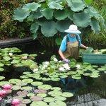 """Deadheading"" Water Lilies"