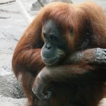 Pensive orangutan on a very warm day.