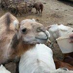 The girls feeding the camel ��