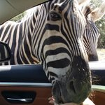 Zebra sticking it's head in car