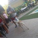 Sürmeli,the dog plays around the pool