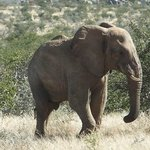 Desert Adapted Elephant Found!