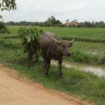 The water buffalo was close
