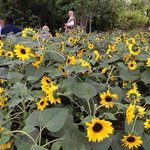 Aesop's Fables among the sunflowers in the Med Biome