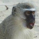 Monkey at the beach