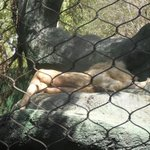 Lion napping in the sun