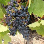 Bunches of Grapes almost ready to Harvest