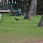 Kauai aka Chicken Island
