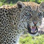 Leopard up close in the Mara