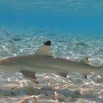 House reef shark