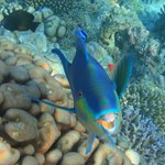 parrot fish on house reef