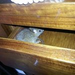 There was a Rat in the drawer of the dressing table