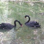 Black swan?