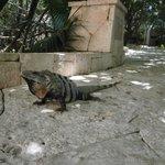 Iguana, la encontrábamos a la mañana cuando íbamos a desayunar