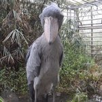 Shoebill - we loved him