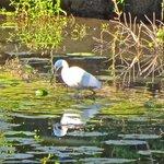 Wetlands wildife - egret fishing