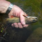 rainbow trout... catch and release