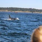 Orca whale San Juan Island Safaris