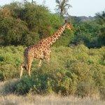 special giraffe