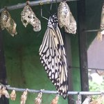 Butterfly just chillin' after coming out of its chrysalis.