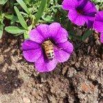 amamos esta abelha entrando na flor, sugando seu nectar...