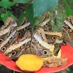 Owl WIng Butterflies feeding
