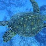 turtle, swimming