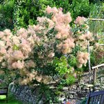 The Smoke Tree that occupies the centre of the stunning stepped garden
