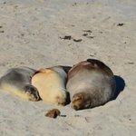 Leoni marini a Seal Bay