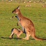 Kangurino con la mamma