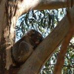Koala su ramo