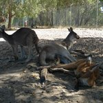 Kangaroos lying around out of the sun
