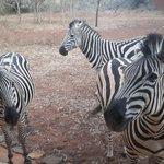 Zebras off the deck